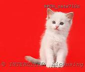 Xavier, ANIMALS, cats, photos, SPCHCATS710C,#A# Katzen, gatos
