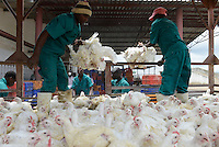 MOZAMBIQUE, Chimoio, chicken farm and slaughterhouse Agro-Pecuaria Abilio Antunes, delivery of chicken at slaughterhouse / MOSAMBIK, Chimoio, Huehnerfarm und Schlachthaus Agro-Pecuaria Abilio Antunes, Anlieferung der broiler zum Schlachten
