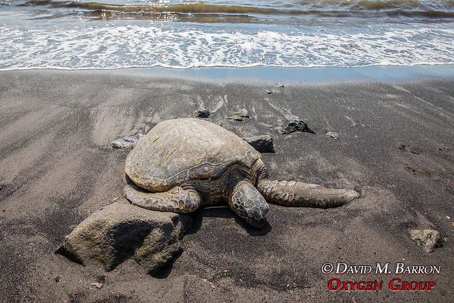 Tagged Green Turtle, Punalu'u Black Sand Beach