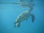A Hawaiian Green Sea Turtle goes up for air at Black Rock, a popular snorkeling spot on Ka'anapali Beach, Lahaina, Maui, Hawaii