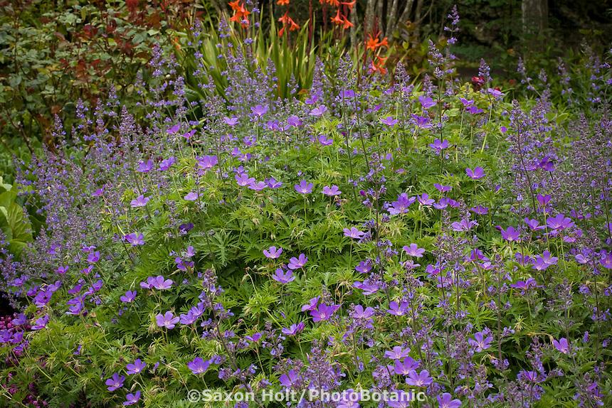 Blue flower geranium 'Nimbus' in California mixed perennial garden