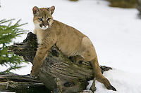 Puma kitten relaxing on an old log - CA