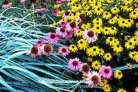 63821-03204 Black-eyed Susans (Rudbeckia fulgida Goldstrum) Purple coneflowers (Echinacea purpurea 'Magnus') & Blue Lyme grass (Elymus sp) Marion Co.   IL