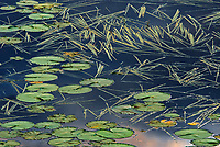 Aquatic vegetation (Sparganium and lily pads) in Wetland in morning light<br />