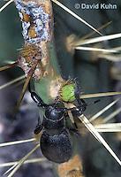 0412-1104  Cactus Longhorn Beetle, Feeding on Cactus, Moneilema gigas  © David Kuhn/Dwight Kuhn Photography
