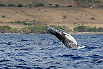 Humpback whales in the 'Au 'au Channel, Maui, Hawaii, USA