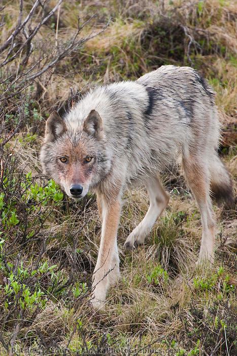 Gray wolf on the tundra of Denali National Park, Alaska.