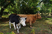BNPS.co.uk (01202 558833)<br /> Pic: ZacharyCulpin/BNPS<br /> <br /> Horned cattle in the village of Bramshaw in the New Forest.<br /> <br /> Hundreds of cows in the New Forest are having their horns removed following a worrying rise in cattle attacks on dog walkers.<br /> <br /> While many owners are agreeing to dehorn their livestock to reduce the risk of serious injury to the public, others object and compare it to 'going into the jungle to remove the claws from a tiger.'<br /> <br /> They blame a 'decline in sensible behaviour among forest users' for the increase in the attacks.