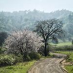 Dirt road toward Blue Ridge and almond tree in bloom, Capay Valley, Calif.