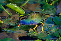 Purple Gallinule (Porphyrula martinica) walking on lily pads (uses large feet), Florida.