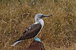 A full-body portrait of a mature Blue-footed Booby standing on a red-lava rock on Rabina, Galapagos Island, in the middle of a dried-grass field.