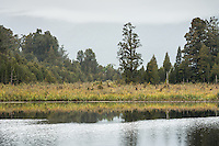 Native forest at Lake Matheson on cloudy day, Westland Tai Poutini National Park, UNESCO World Heritage Area, West Coast, New Zealand, NZ
