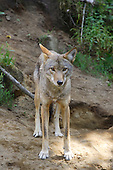 The Grey wolf also called Timber Wolf