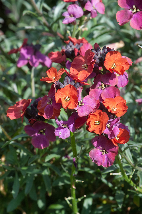 Erysimum 'Red Jep', mid May.