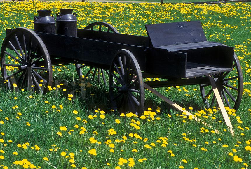 wagon, dandelion, spring, Sheffield, VT, Vermont, Antique wagon in a field of dandelions in Sheffield in the spring.