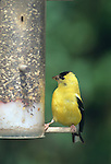 American Goldfinch, male, Spinus tristis, at thistle feeder
