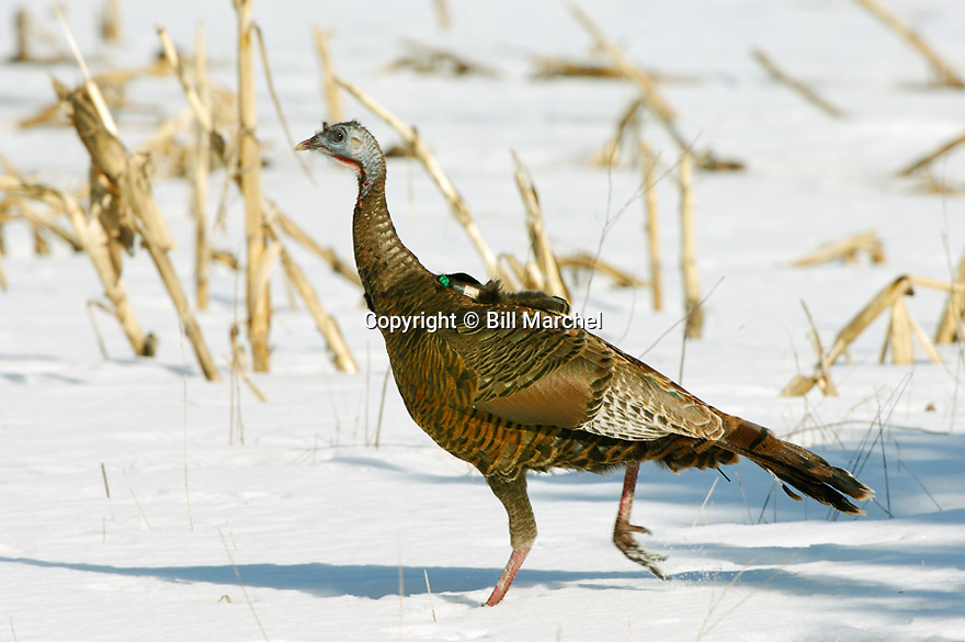 01225-076.01 Wild Turkey (Digital) hen is wearing a telemetry transmitter on her back.  Note antenna under tail.  Minnesota.  H5L1