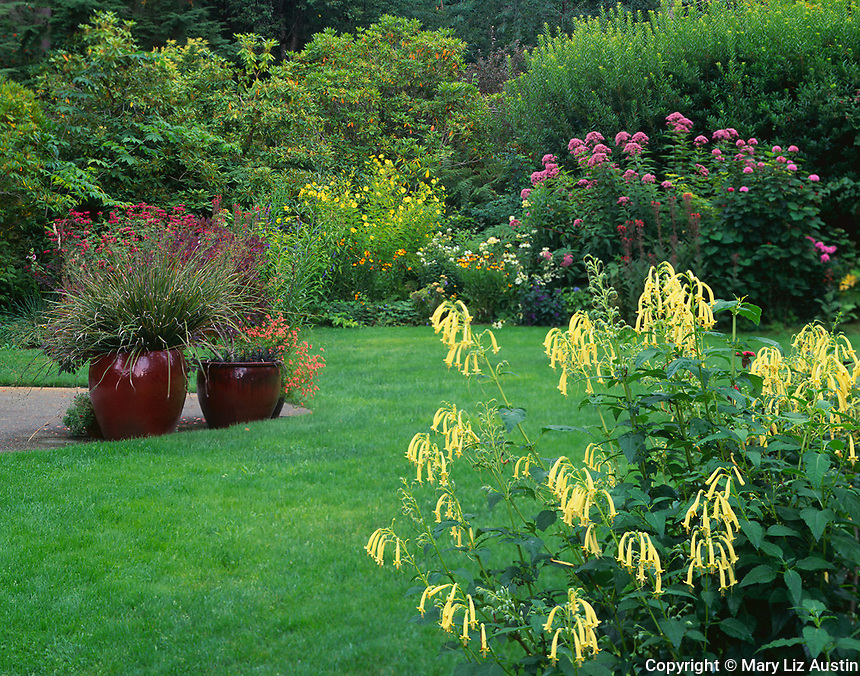 Vashon Island, WA:  Summer garden with Cape Fuchsia 'Moon Raker' and Helianthus 'Lemon Queen', and Joe Pye Weed (Eupatorium purpureum) blooming in the background