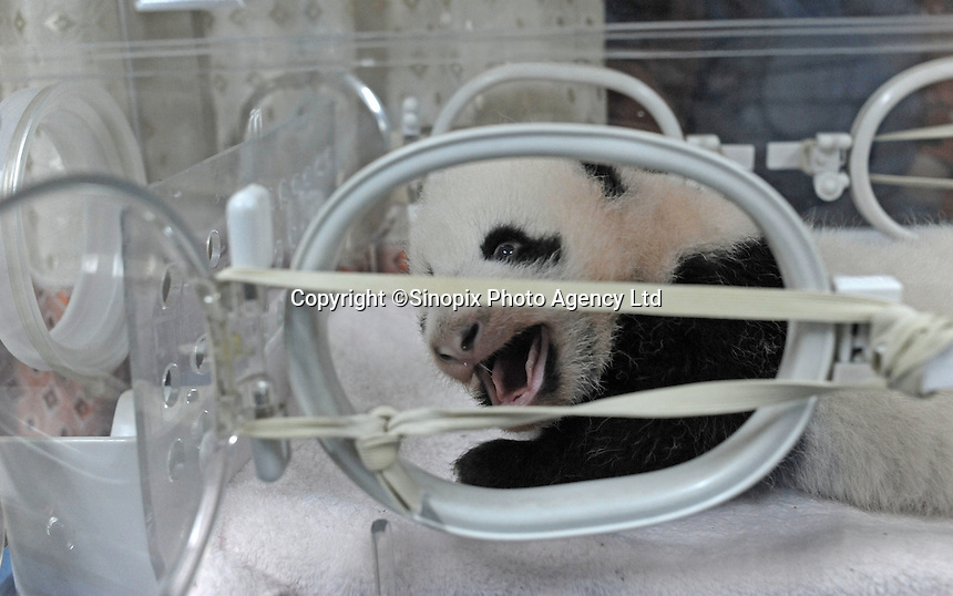 One of last years babies at the Chengdu Giant Panda Breeding and Research Base, China..