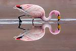 Altiplano, Bolivia , Eduardo Abaroa Andean Fauna National Reserve, flamingos