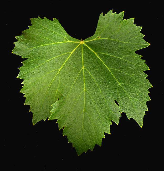 Sangiovese leaf