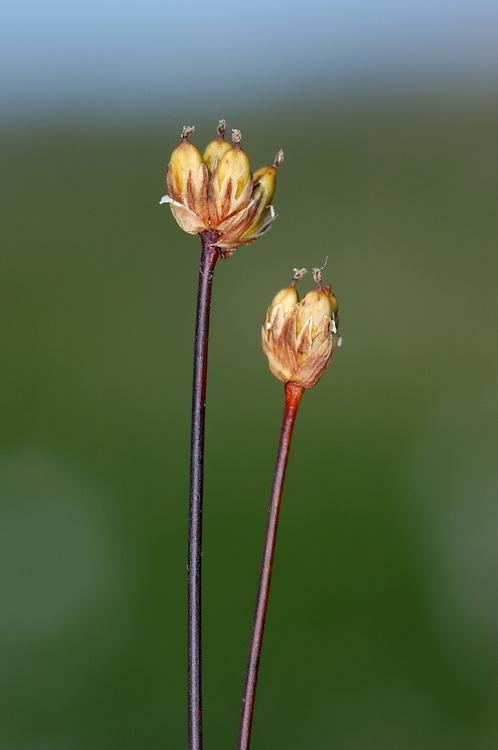 THREE-FLOWERED RUSH Juncus triglumis. Short, usually with 3  flowers per head. Damp, acid ground. Scottish mountains.