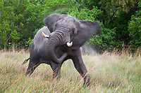 Angry elephant bull is showing off by shaking its head.