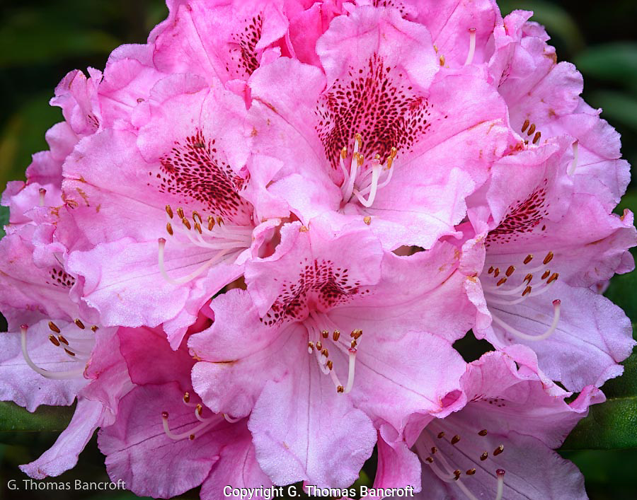 The pink rhododendron had large clusters of flowers on the ends of each branch.  This created quite the show.  I was intriqued by the detail in each flower.