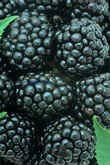 Smooth Blackberry harvest (Rubus canadensis), Eastern North America.
