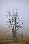 Dead trees shrouded in low cloud and fog at Dunraven Pass, Yellowstone National Park, Wyoming.