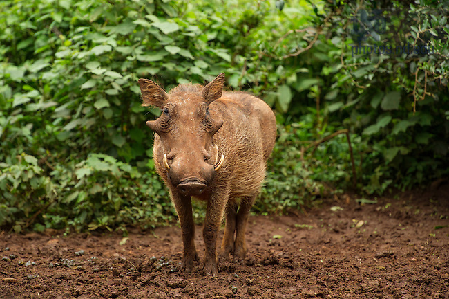 June 22, 2016; Warthog at an animal shelter in Nairobi, Kenya.  (Photo by Barbara Johnston/University of Notre Dame)
