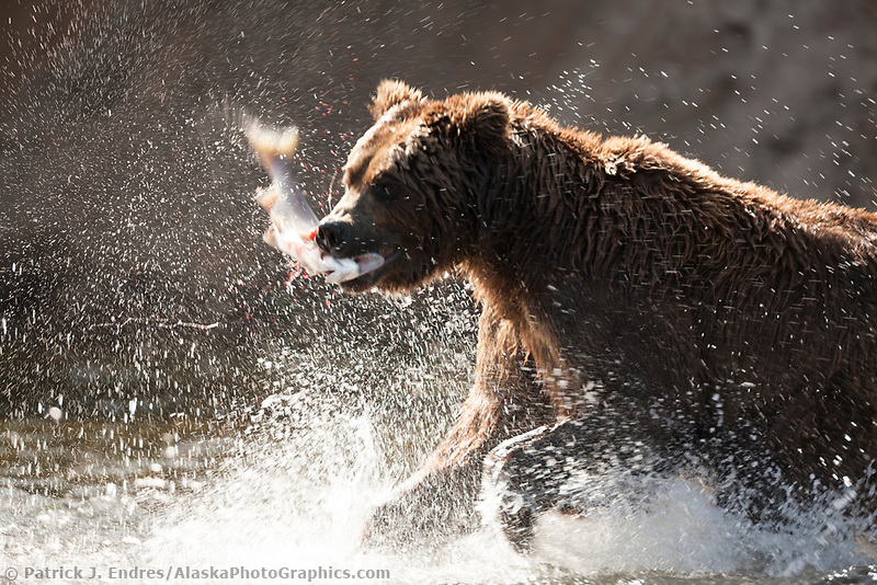 Brown bear lunge fishes for red salmon in the Brooks river, Katmai National Park, southwest, Alaska.