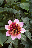 Dahlia 'The Phantom' double centered pink, Anemone-flowered dahlia