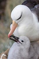 Black-browed Albatross - Thalassarche melanophris - adult feeding chick