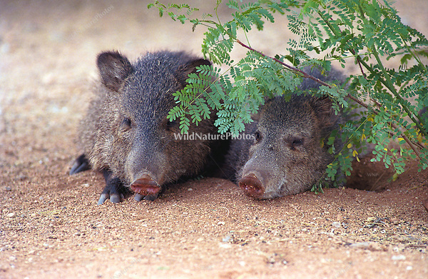 Javelina resting, seeking shelter from the desert heat