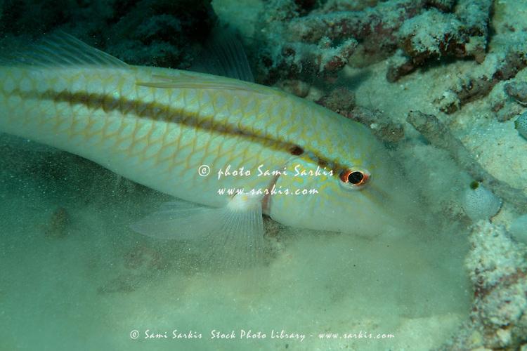 Finstripe Goatfish, Upeneus Taeniopterus, eating on seabed - Maldives south male atoll bocifushi wreck