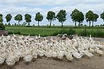 POLAND / POLEN, Dorf Szubin, Gaensezucht bei Landwirt Piotr Standzon