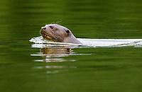 giant otter, or giant river otter, Pteronura brasiliensis, adult, swimming, Madre de Dios River, Manu National Park, Peru