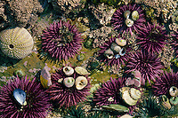 Purple urchins,  Pelican Point<br />