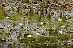 Fragrant White Water Lily  (Nymphaea odorata) in Ponemah Bog, Amherst, NH, USA