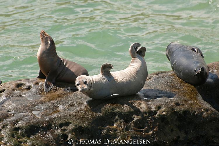 Harbor seals lay on rocks on the children's pool beach in La Jolla, California.
