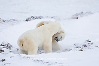 01874-11416 Polar Bears (Ursus maritimus) sparring, Churchill Wildlife Management Area MB