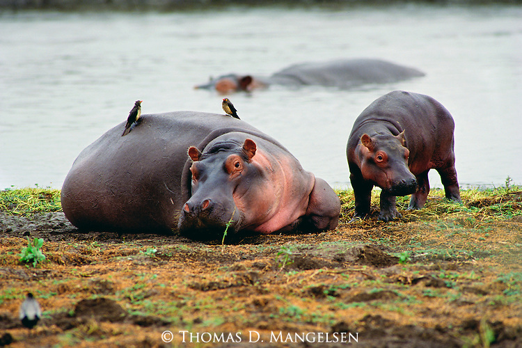A hippopotamus rest on the bank while its young stays close by.