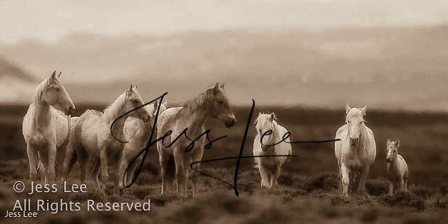Sandwash basin Colorado Mustangs Wild Horse Photography by western photographer Jess Lee. Pictures of mustangs in the West. Fine art images,Prints,photos Wild horse photo,wildhorses in the american west,