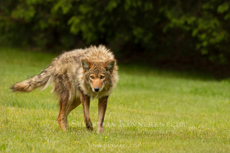 Coyote (Canis latrans) male, Gloucester, Cape Ann, eastern Massachusetts