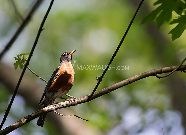 Yost Park is home to a number of different bird species, including the American robin.