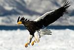 Steller s Sea Eagle, Haliaeetus pelagicus, in flight, flying, coming in to land on sea pack ice, Okhotsk Sea, Rausu, Hokkaido, Japan, japanese, Asian, wilderness, wild, untamed, photography, ornithology, snow, bird of prey, Vulnerable.Japan....