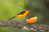 561820076 a wild altimara oriole icterus gularis perches in a tree at bentsen state park hidalgo county texas united states
