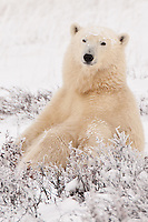 Polar Bear sitting amongst some bushses