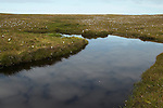 Peat moorland showing open pool, grass and bog cotton typical of this habitat, Hermaness, Shetlands, Scotland